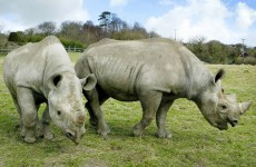 Western black rhino declared extinct