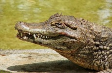 Unwelcome guest: Crocodile wanders into family living room