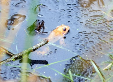 Reader Colum Lawlor sent in this snap from a little pond in Co Meath - we think it's an albino frog...