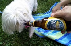 Thirsty dog? Crack them open a cold beer
