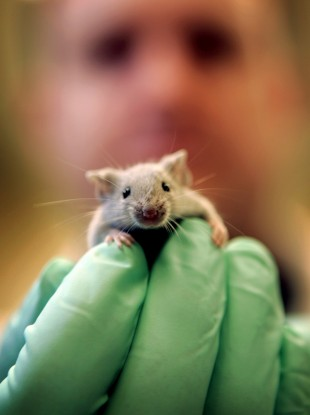 File image of a laboratory mouse