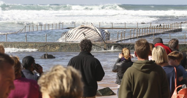In photos: dead whale found in Australian pool