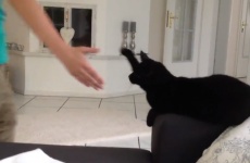 VIDEO: Coolest cat in the world is down with high-fives