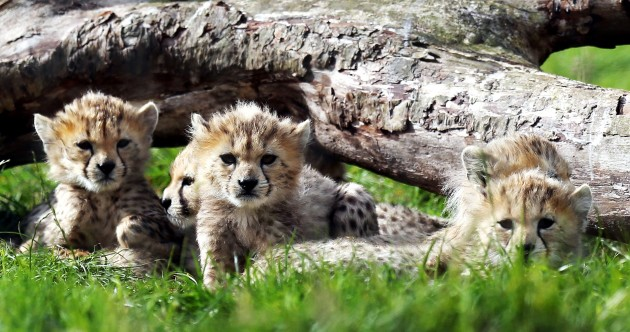 In pics, video: septuplet Cheetah cubs make public debut