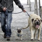 Darren Hamilton from North Wall, Dublin, walks his three-year-old pug Roxy and three-year-old English Mastiff Leon along the River Liffey. Photo: Mark Stedman/Photocall Ireland