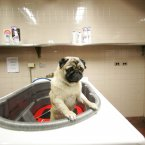 Dermot tries to climb out of the bathtub in the Dog Spa at the Pennsylvania Hotel. (AP Photo/Mary Altaffer)