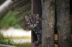 What's a Fishing Cat cub? This is a Fishing Cat cub