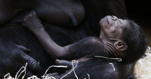 PICS: Welcome to the world, baby gorilla
