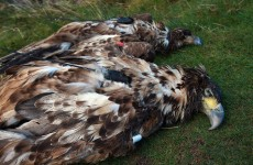 White-tailed eagles found poisoned in Co Cork