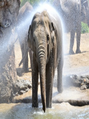 An elephant at Dublin Zoo is hosed down to keep cool in the hot weather