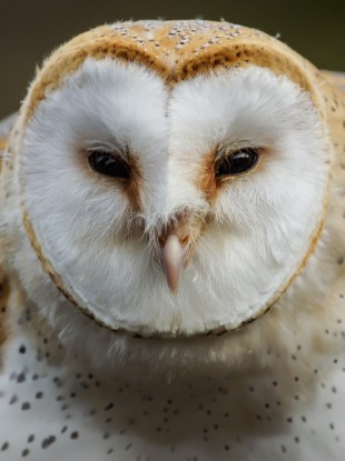 Common Barn Owl.