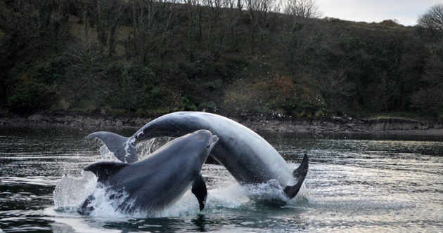 A Fungi to hang out with… Dingle dolphin and friends splash about in the bay